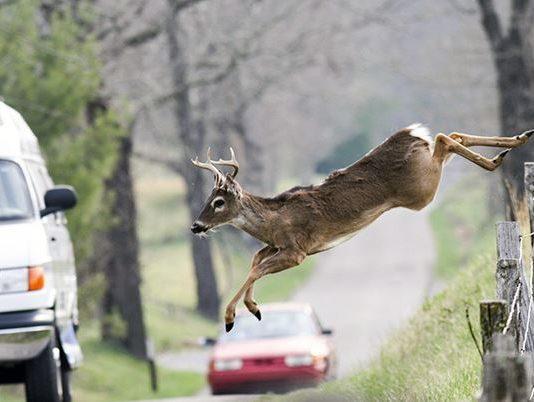 deer-crashes